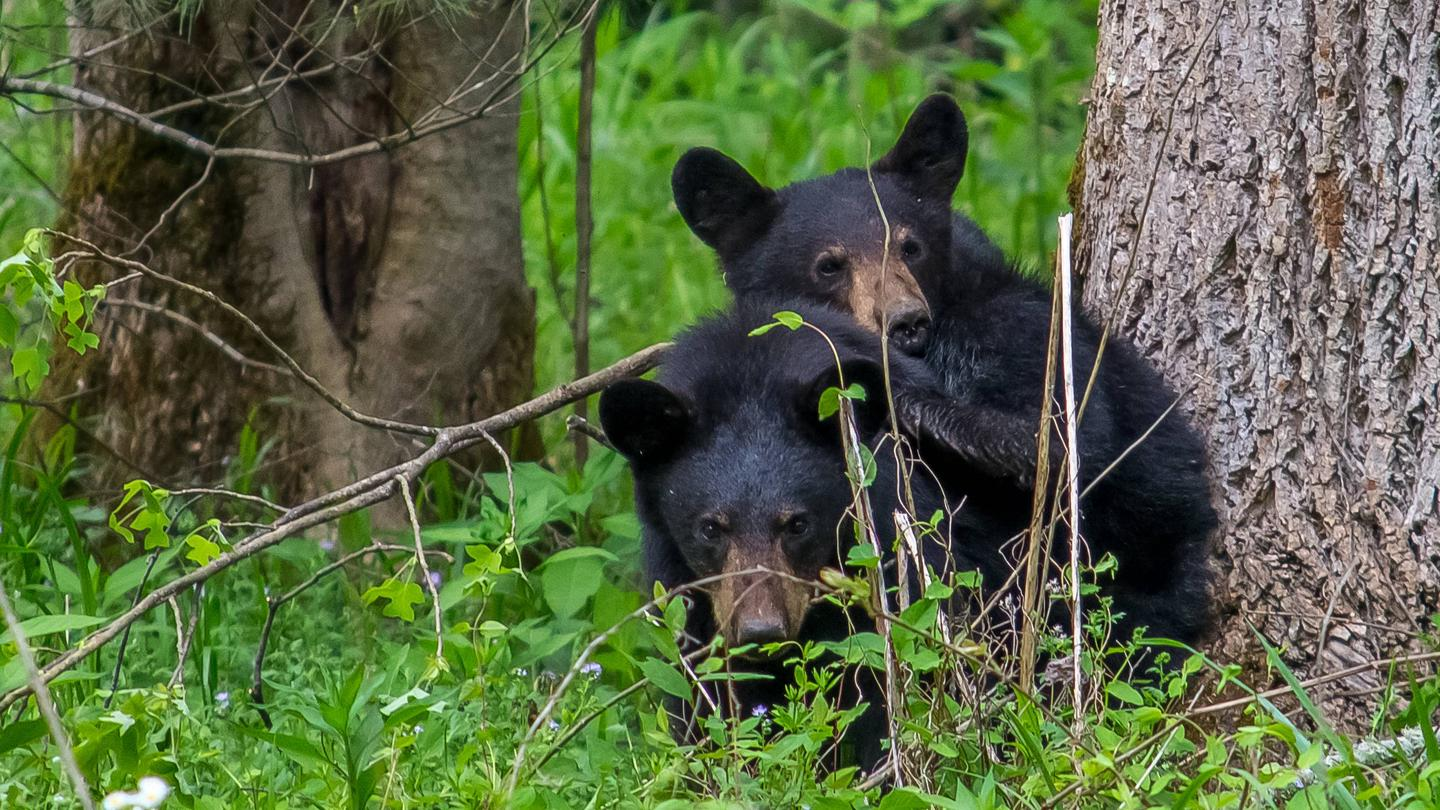 Black Bear at Cades CoveCades Cove