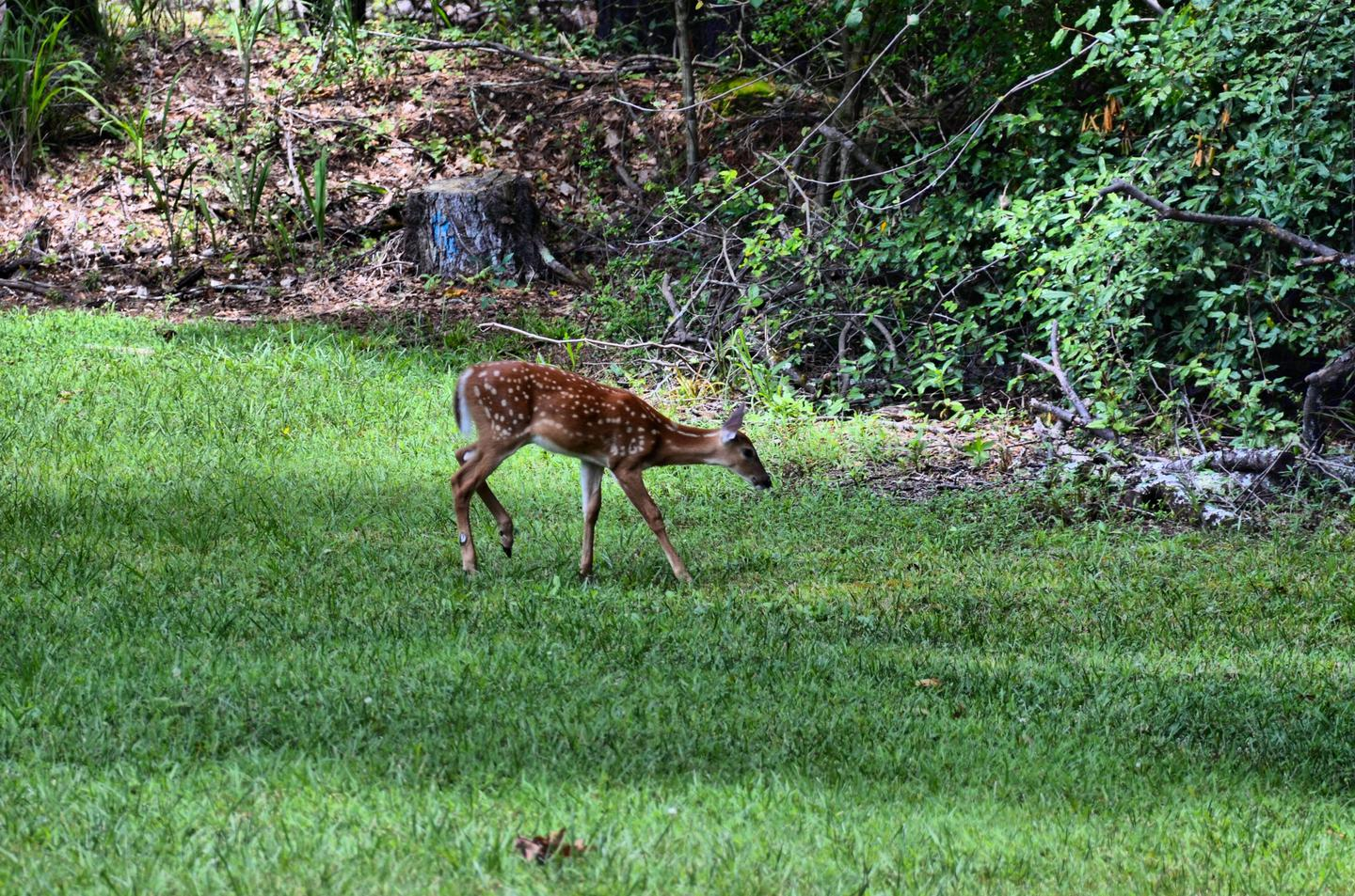 McKinney Campground resident fawn.