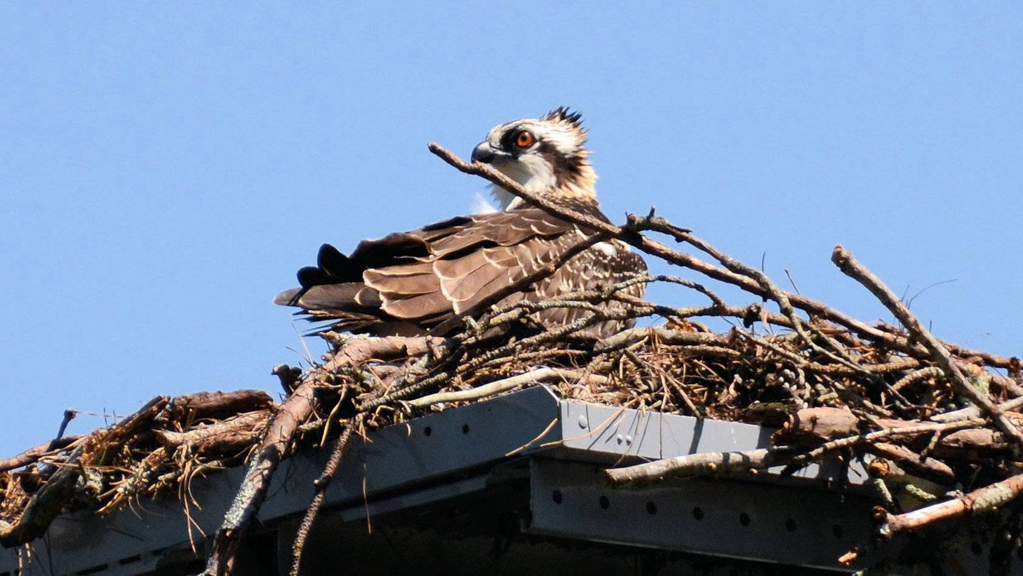 Osprey nest at boat ramp.Old 41 #3 Campground.  Osprey nest near campground boat ramp.