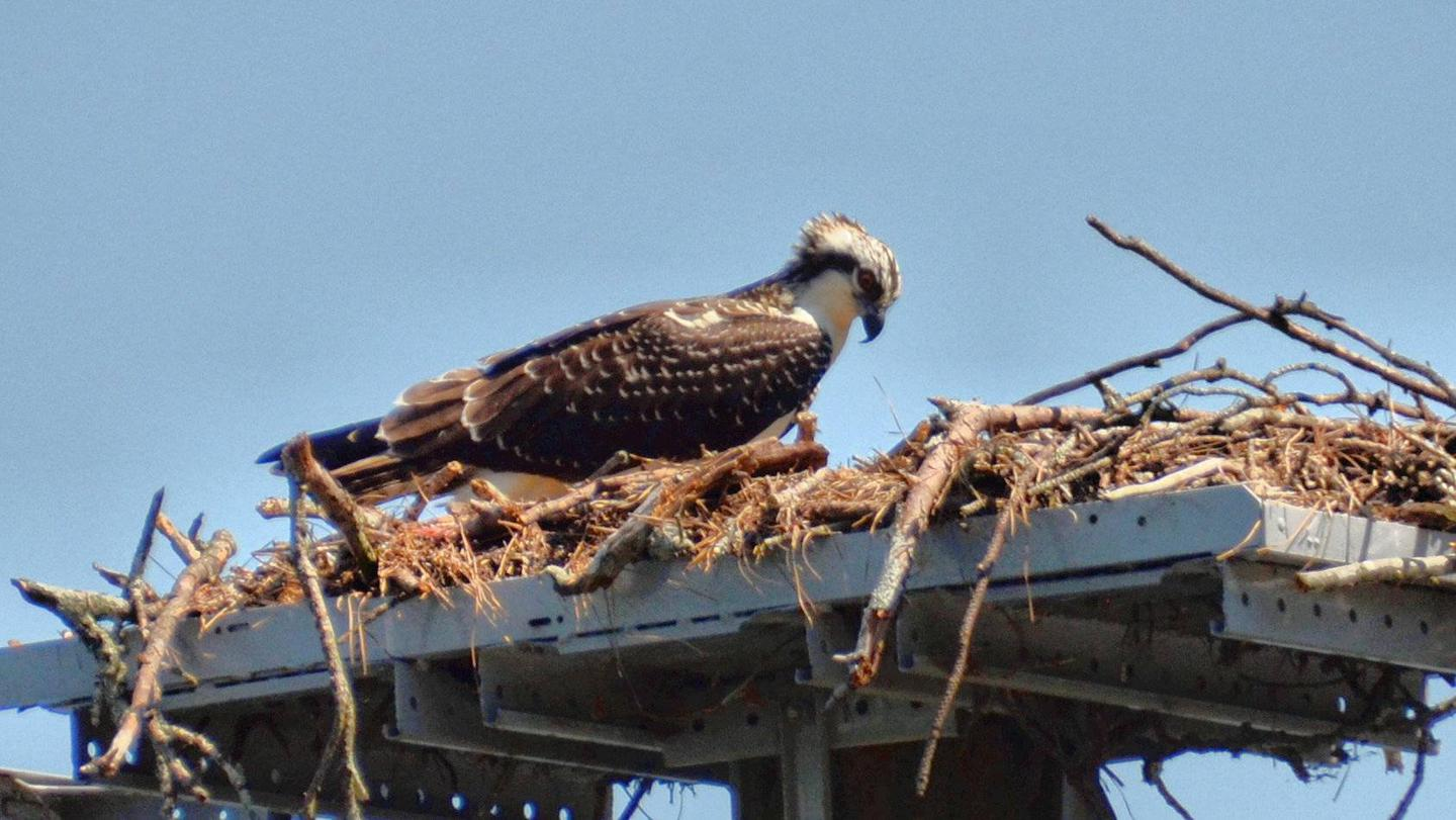 Osprey nest by boat ramp.Old 41 #3 Campground.  Osprey nest near campground boat ramp.