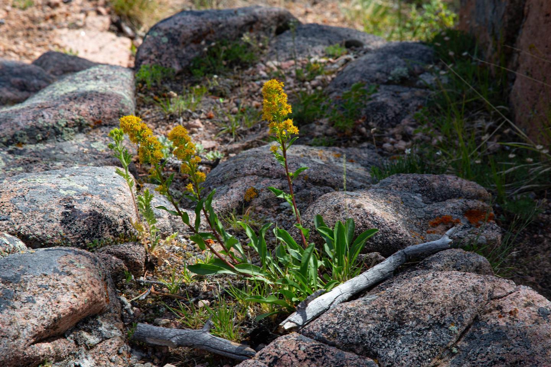 Flowers at Vedauwoo