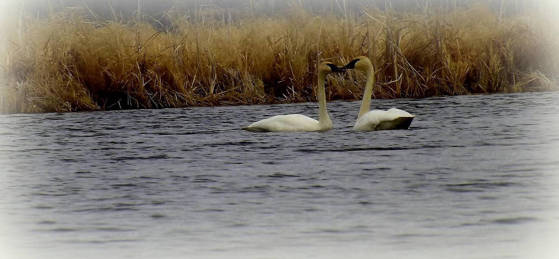 Chippewa Swans on lake