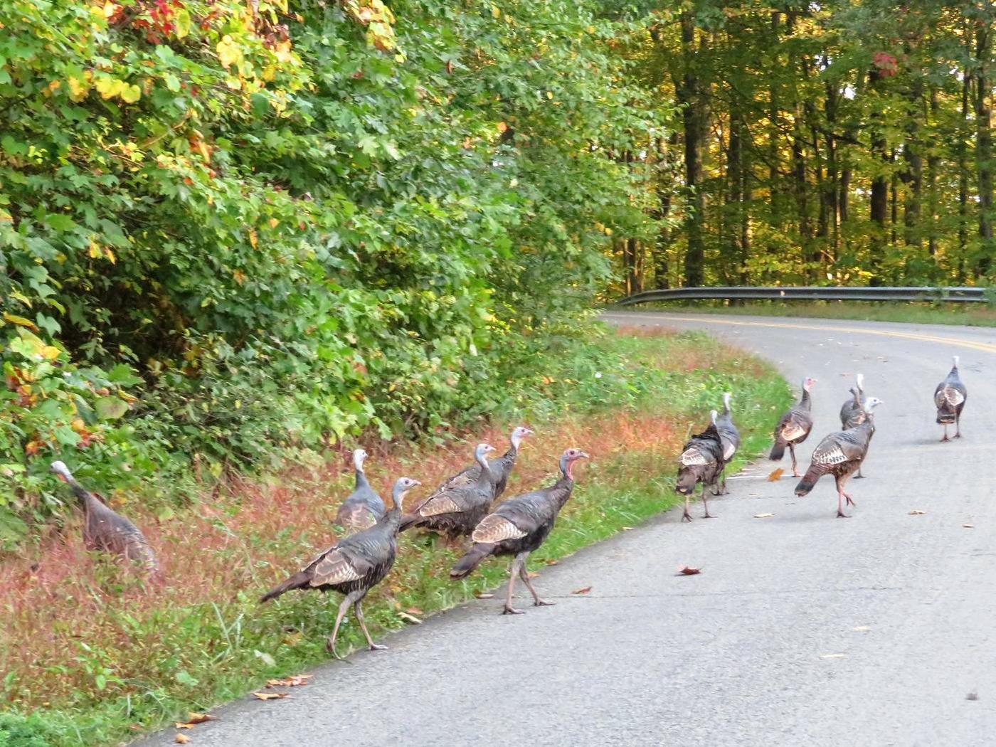 Wild Turkeys on roadway