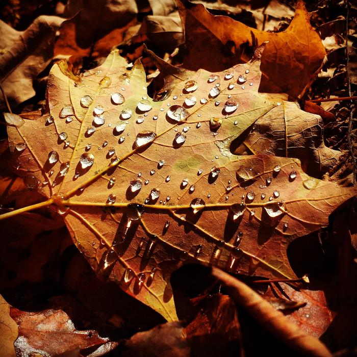 Maple leaf with water drops