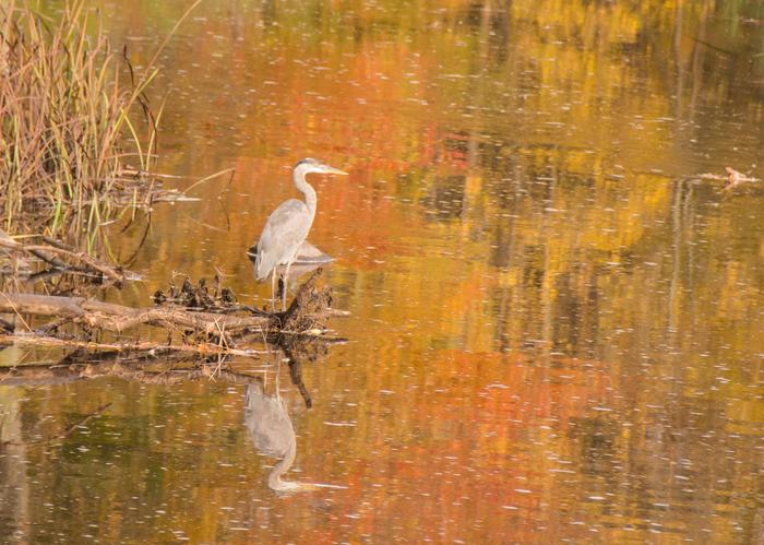 Great Blue Heron and fall colors reflection