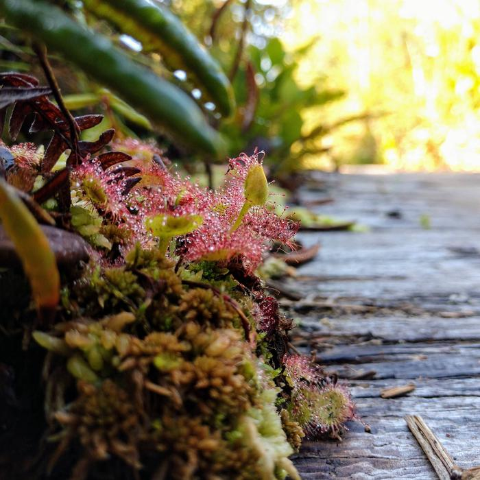 Carnivorous plants grow beside a boardwalk trail. Round-Leaved Sundew