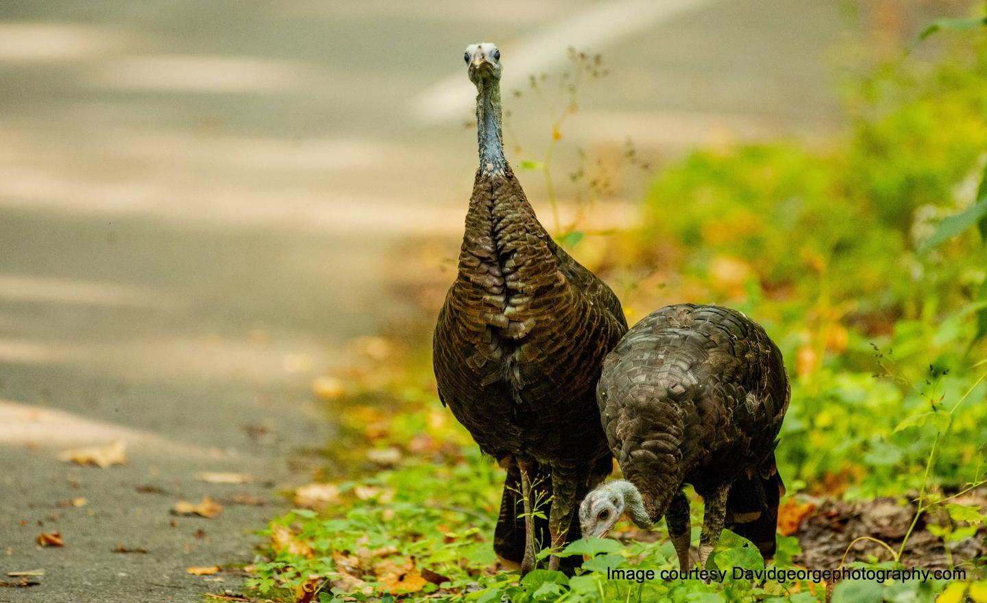 Turkey Jam!Drive slow! You often have to stop for turkey crossings. Don't be surprised if you're stuck in a turkey jam on Cosby Park Rd.