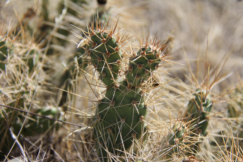 Cactus in the Juniper Dunes WIldernessCactus in the Juniper Dunes Wilderness