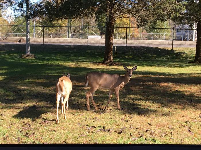 Kendall resident deerKendall campground resident deer