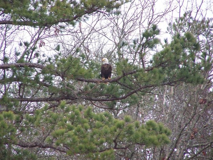 Bald Eagle at Lake Cumberland