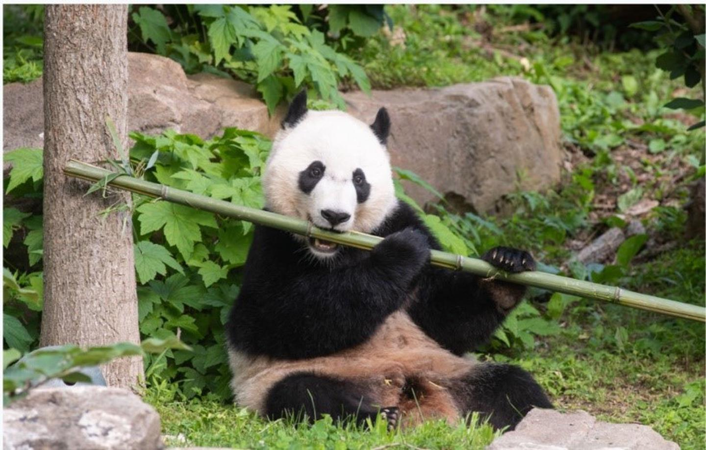 Bei Bei eating bambooAnimals at the National Zoo