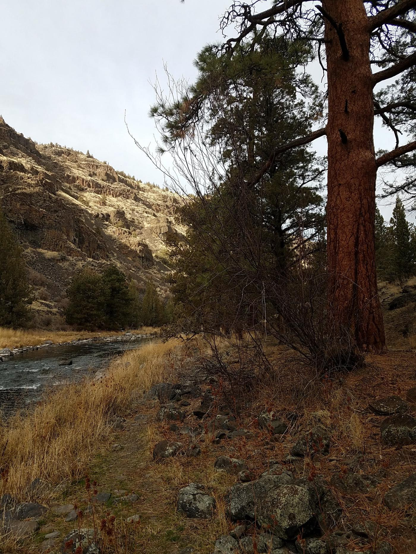 Ponderosa Pine Tree at Poison Butte Campground