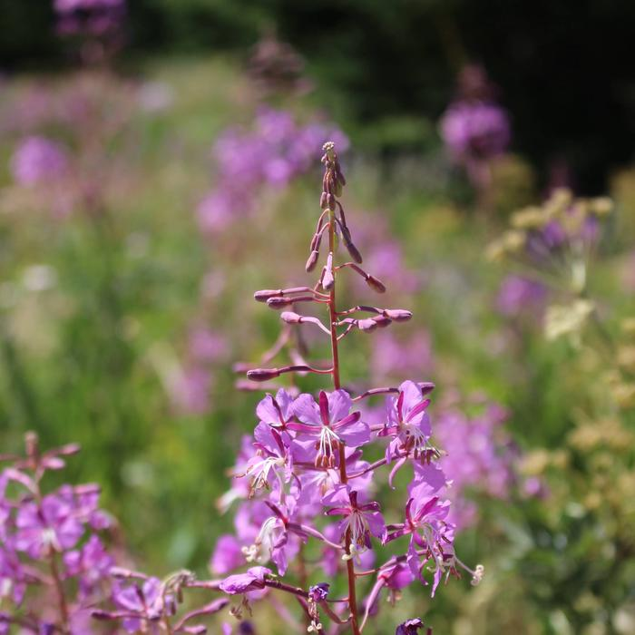 Abundance Of WildflowersFireweed