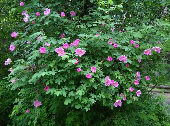 Wild Roses at Big Hank Campground