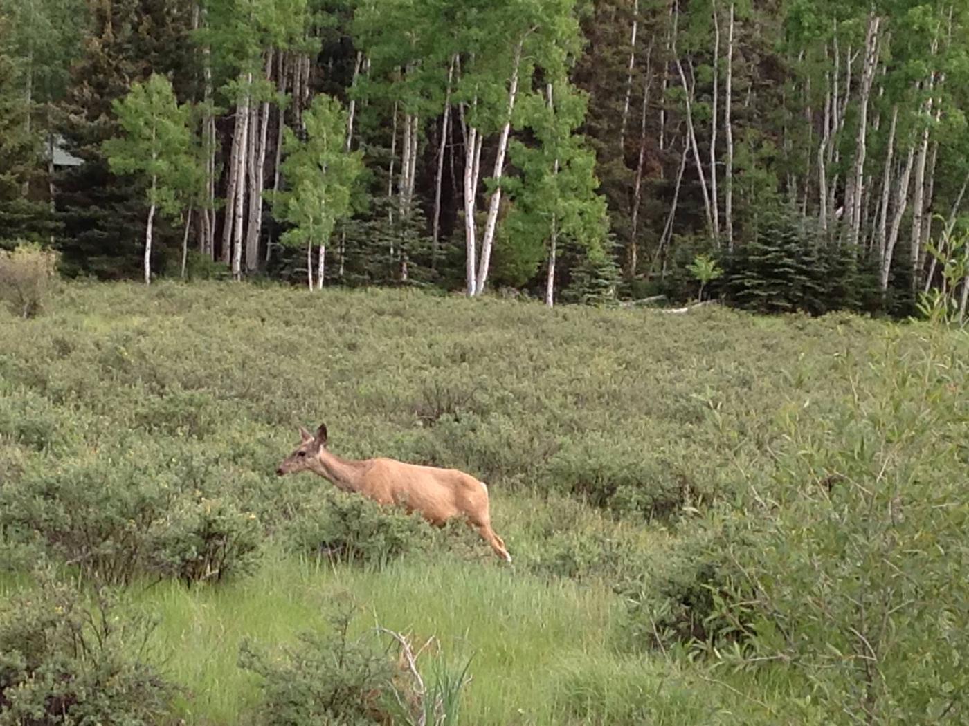 Deer at Elk Creek Campground