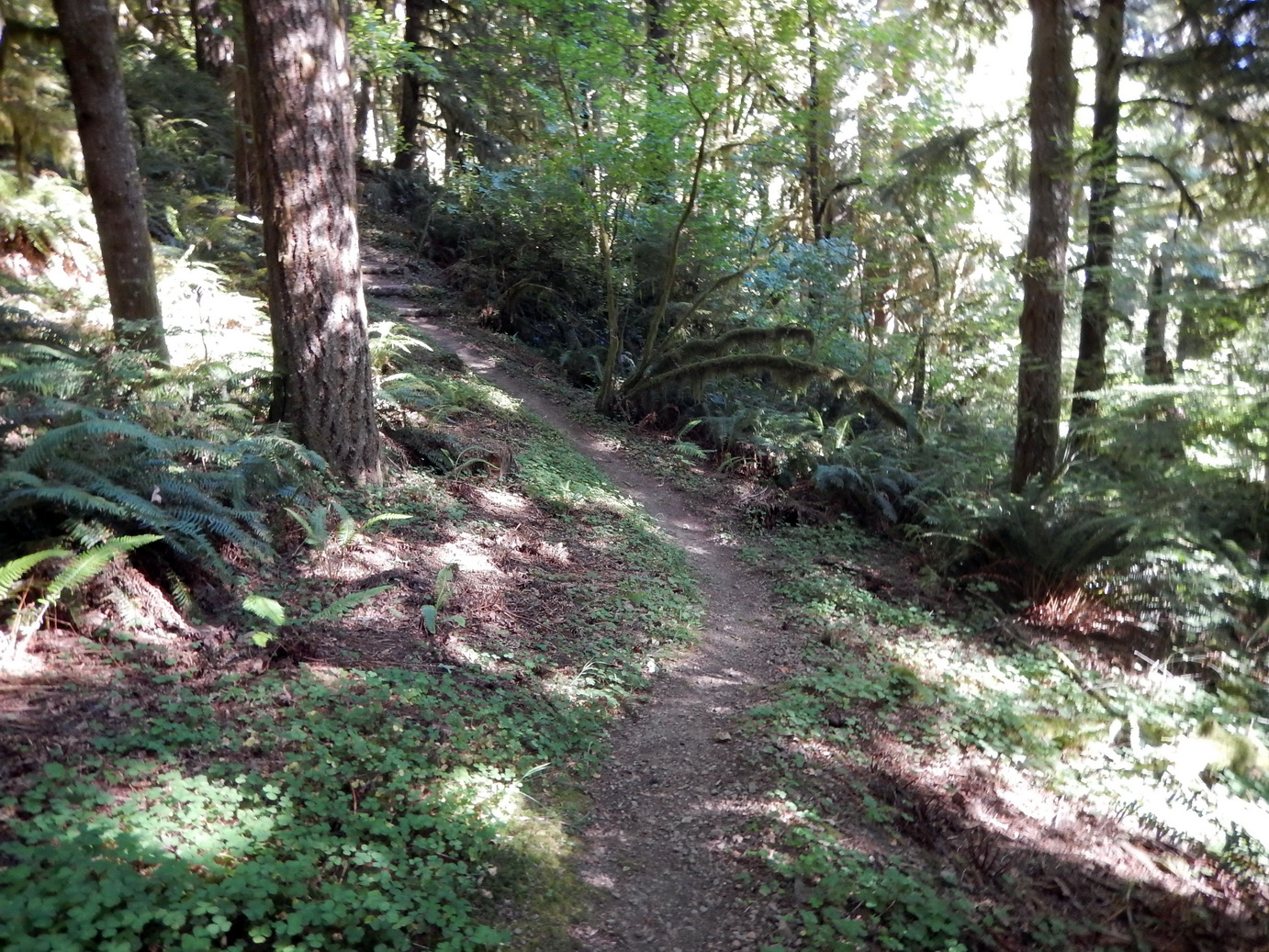 Trees and ferns abound on the Old Growth Ridge Trail