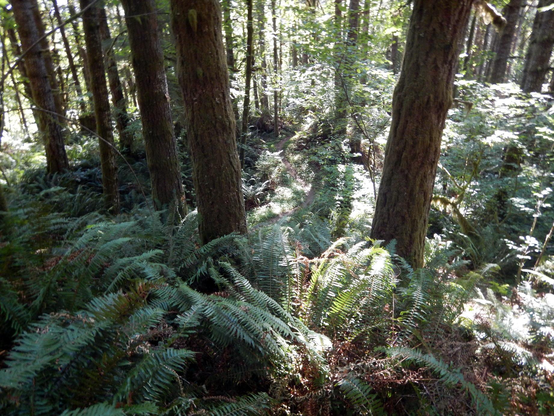 Verdant scene along the Old Growth Ridge Trail