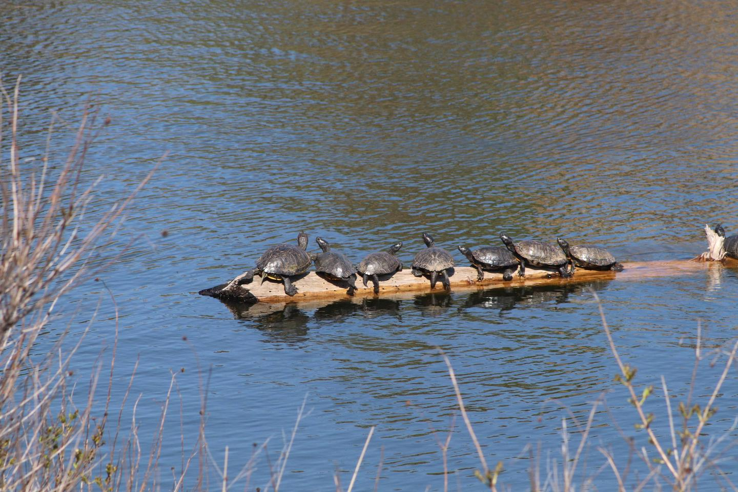 Red-eared Slider turtles sunning on a log in French Lake.Wichita Mountains is home to a variety of creatures including the colorful red-eared slider (Trachemys scripta elegans).