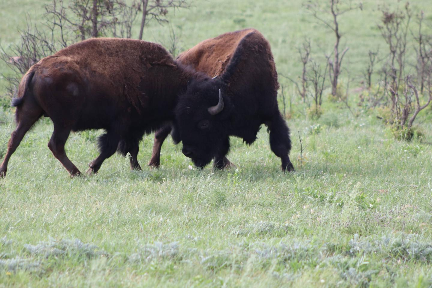 Two young male American bison playfully sparring.Wildlife abounds at the Wichita Mountains. Bison, elk, deer, and longhorn all roam freely.