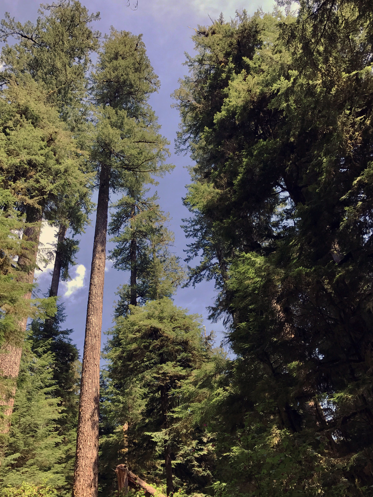 Tall trees on display in the Valley of the Giants.