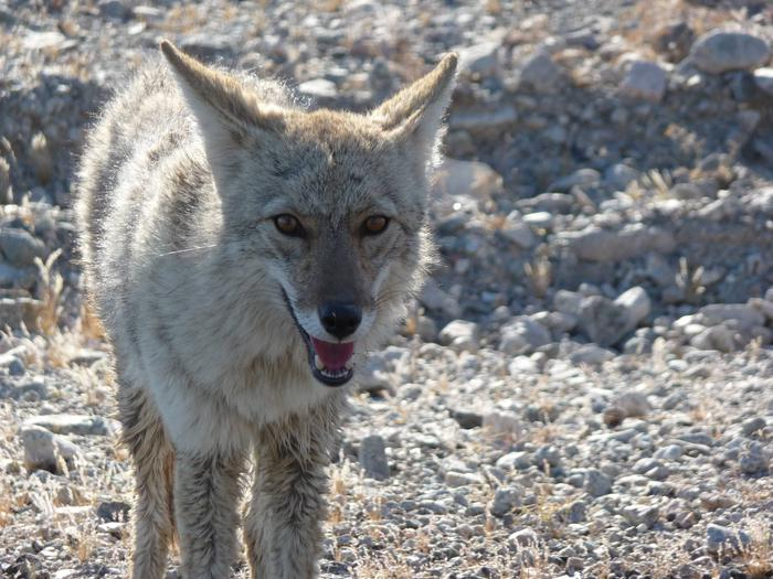 Coyote looking at cameraOne of the many coyotes that inhabit Death Valley