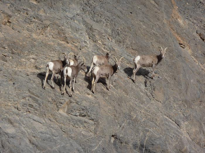 Six bighorn sheep on the side of a mountain.Bighorn Sheep are elusive in Death Valley, but if you keep an eye out, you might see one!
