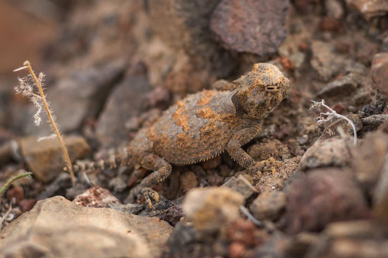 Orange and grey horned lizard in rocksHorned Lizard