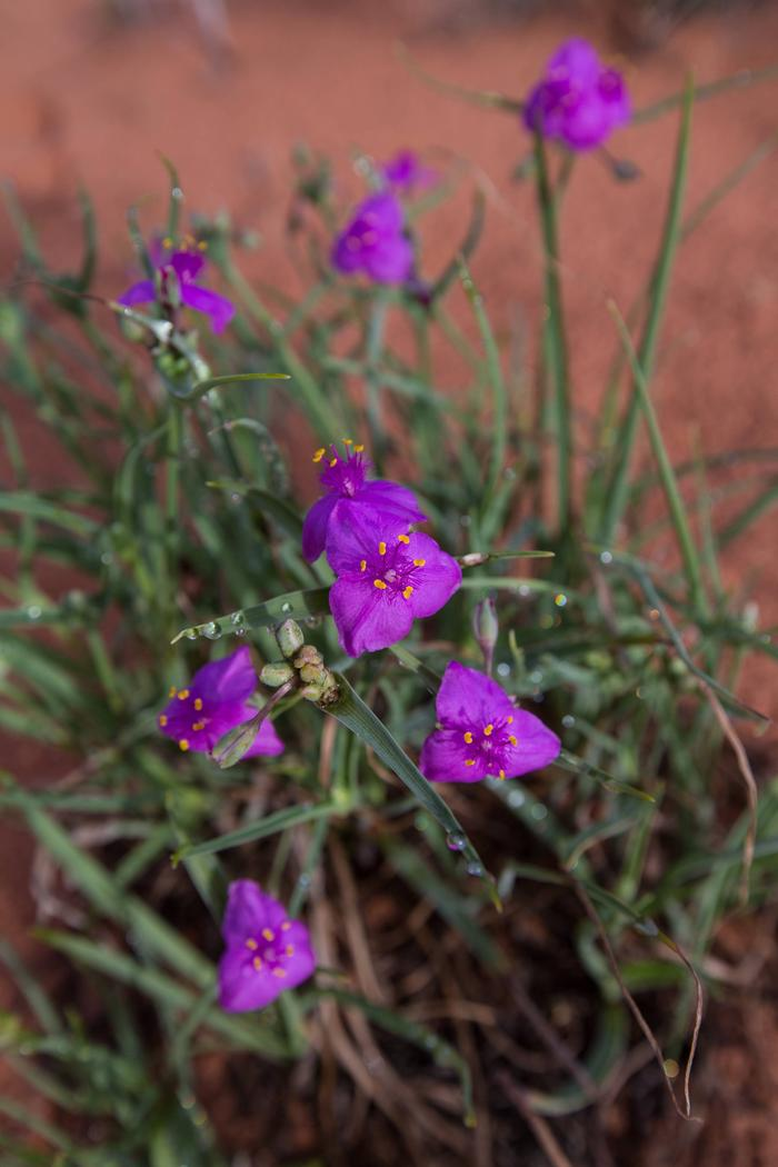 Purple flower with dark green leaves in red sandFlower