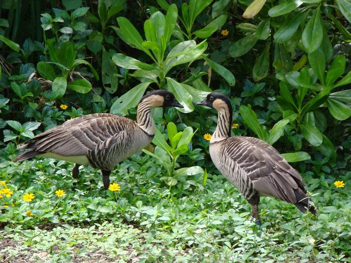 Nene Geese at Kilauea Point National Wildlife Refuge.