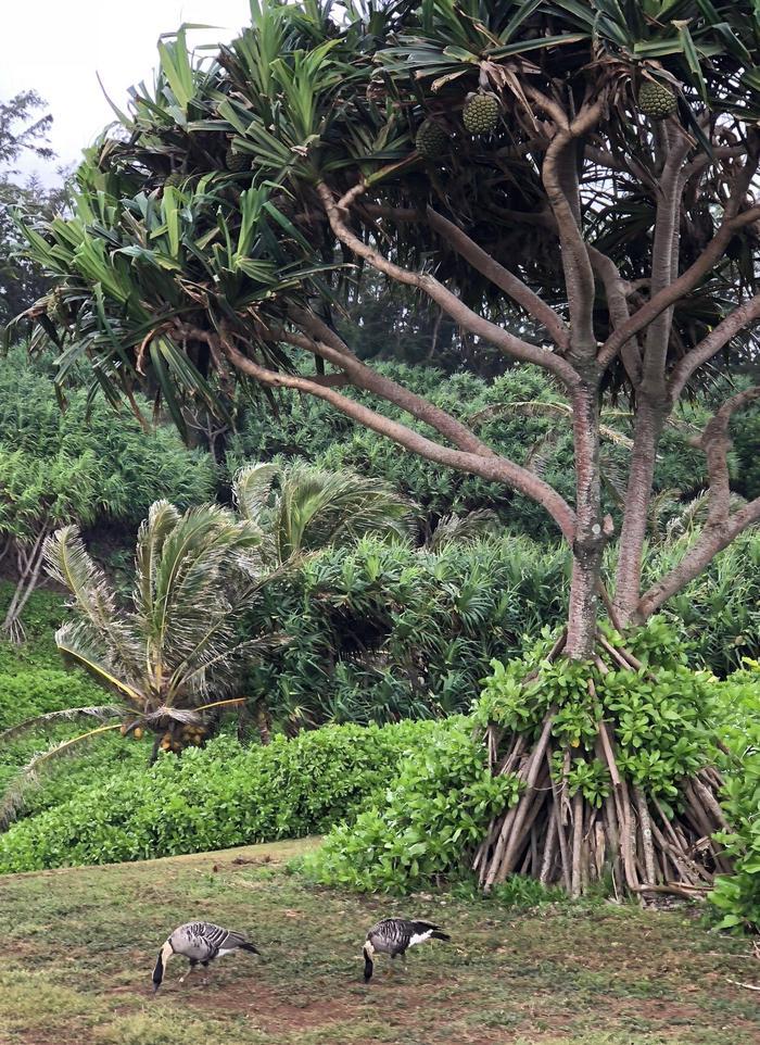 Nene Geese forage near a Hala tree