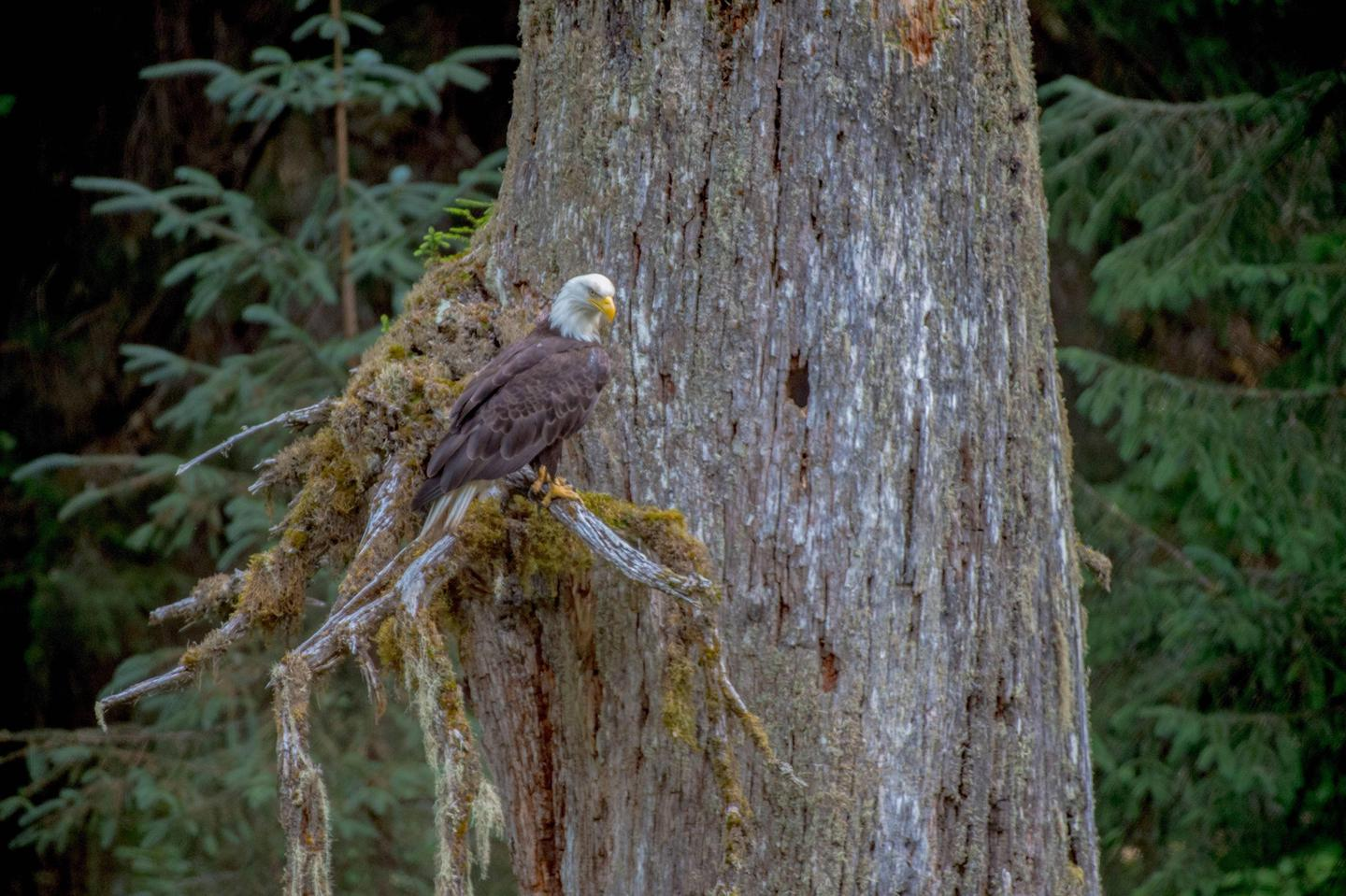 A bald eagle perched in a tree above Fish Creek.