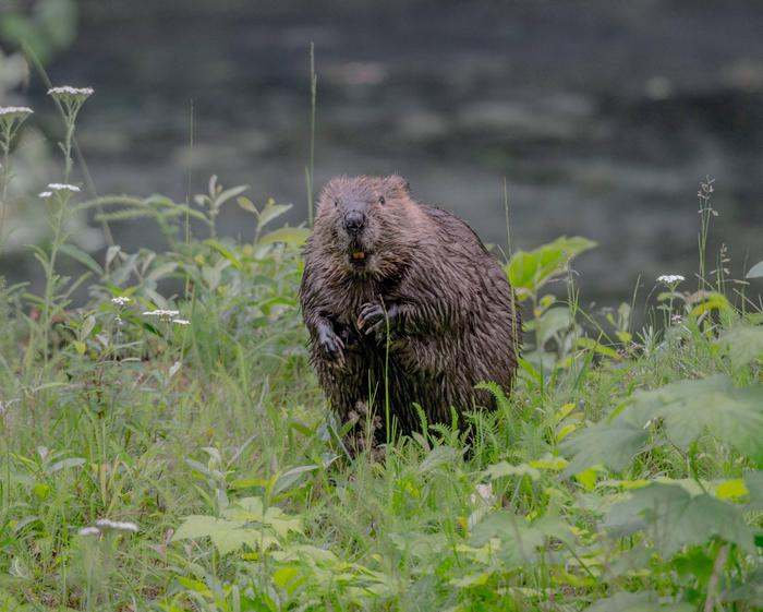 A beaver on the shore of Fish Creek.