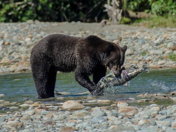 Brown bear fishing for salmon.