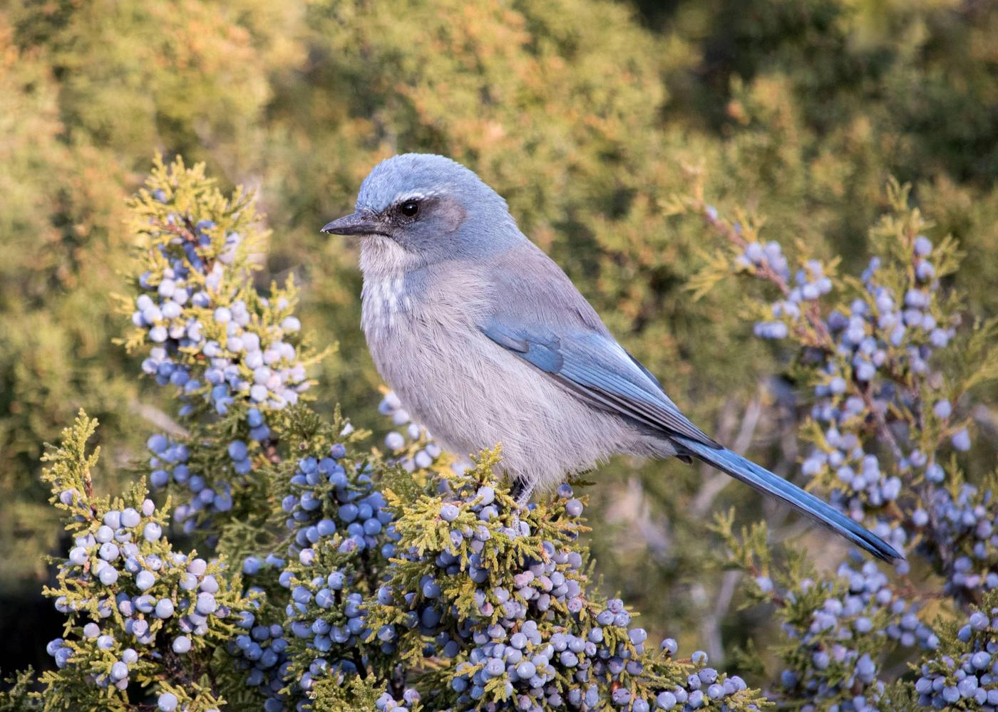 Scrub jay in Kasha-Katuwe Tent Rocks National Monument