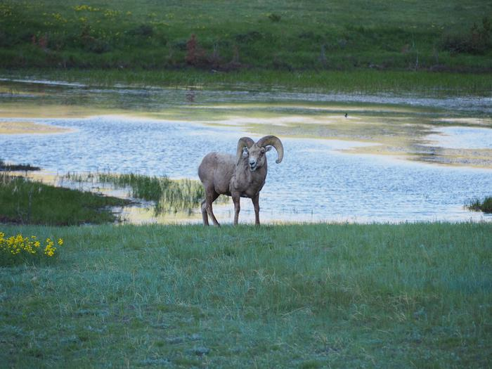 Bighorn Sheep Ram at Sheep LakesSheep Lakes is a great place to see... sheep!