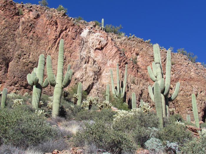 Saguaro CactusHillside with Saguaro Cactus near the Lower Cliff Dwelling