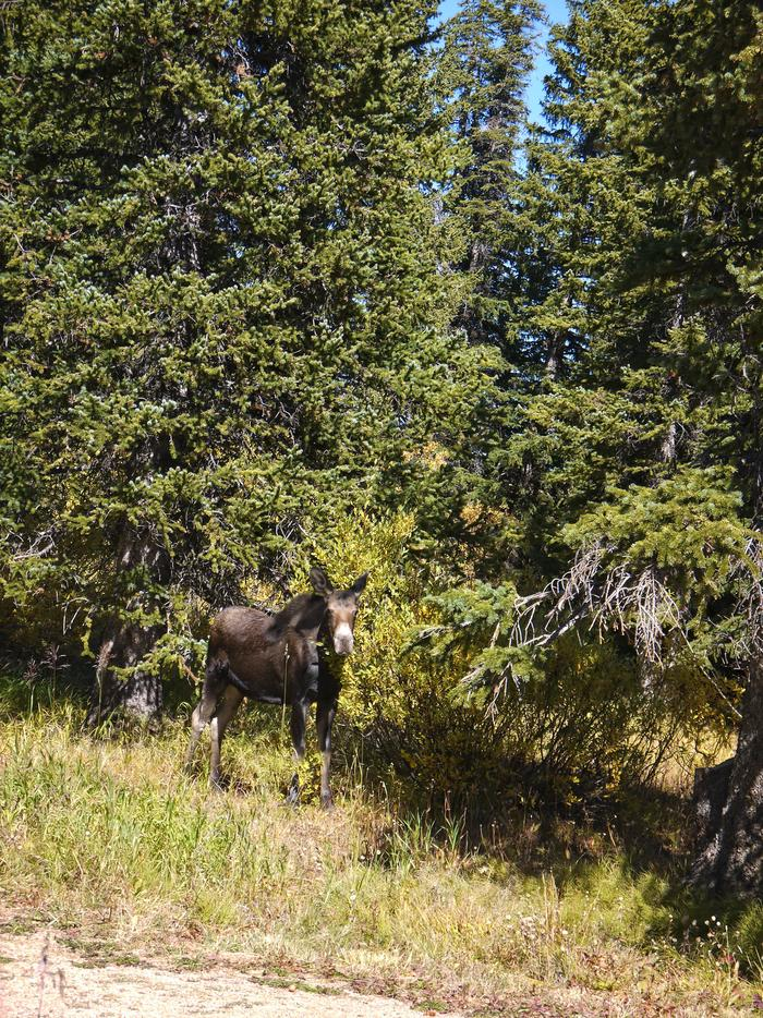Moose at Bald Mountain