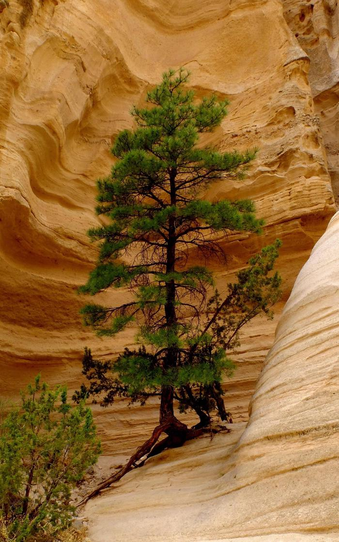 Pine tree grows from the rock at Kasha-Katuwe Tent Rocks National Monument
