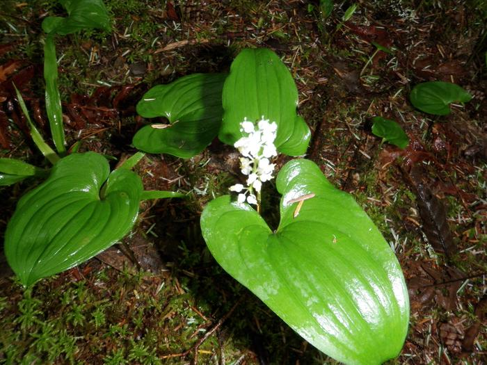 False Lily of the Valleynative flower False Lily of the Valley