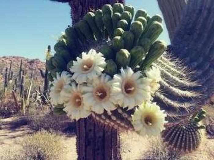 May Flowers!Saguaro Bloom