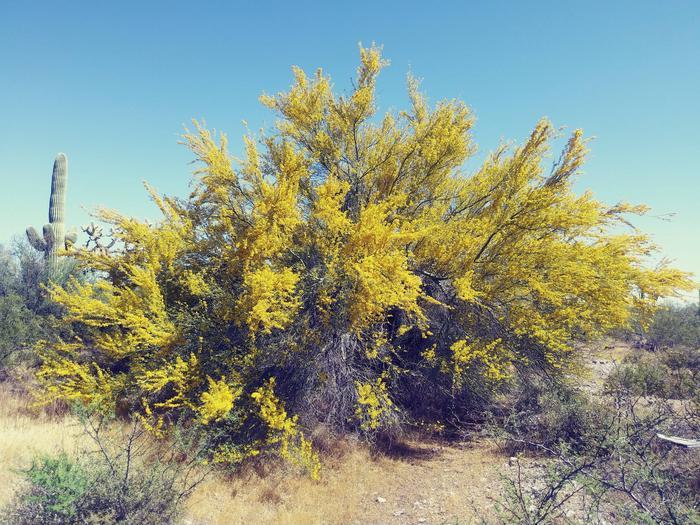 Beauty is everywhere!Palo Verde in Bloom