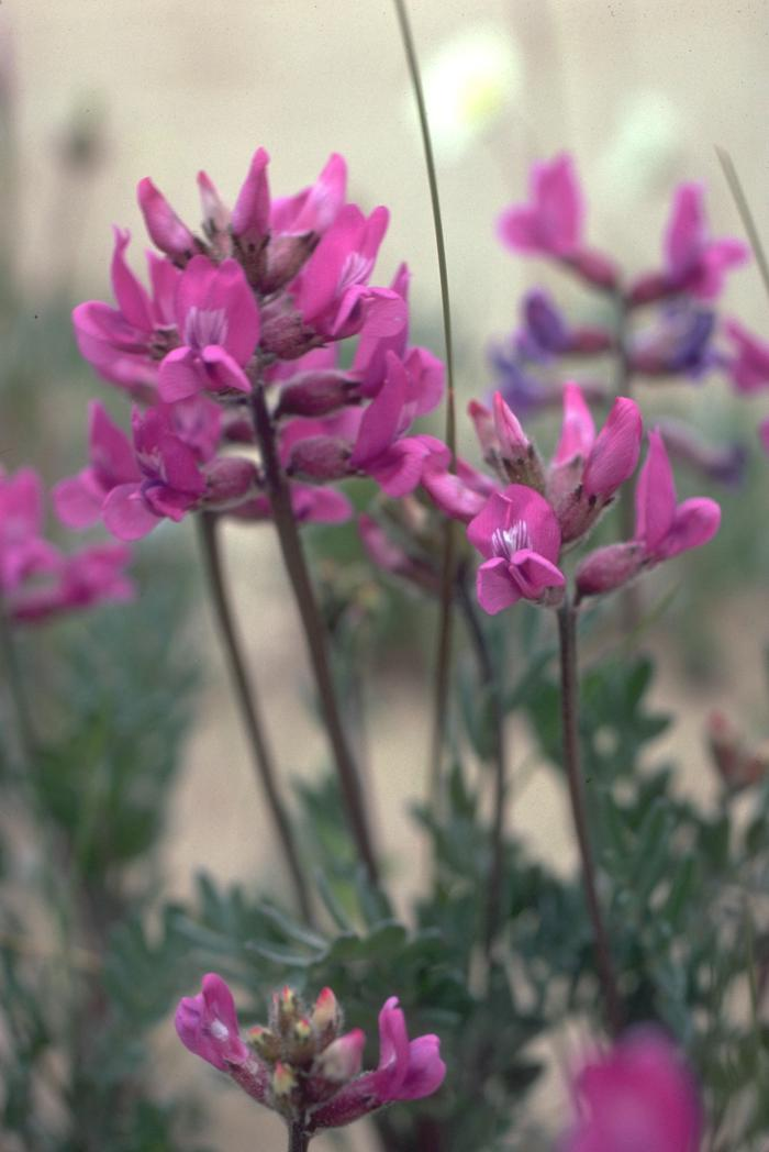 Kobuk LocoweedOxytropis kobukensis (Kobuk Locoweed) is a member of the pea family and adds a splash of pink to the sand dunes. The blossoms have that typical pea/ bean flower shape that many gardeners know.