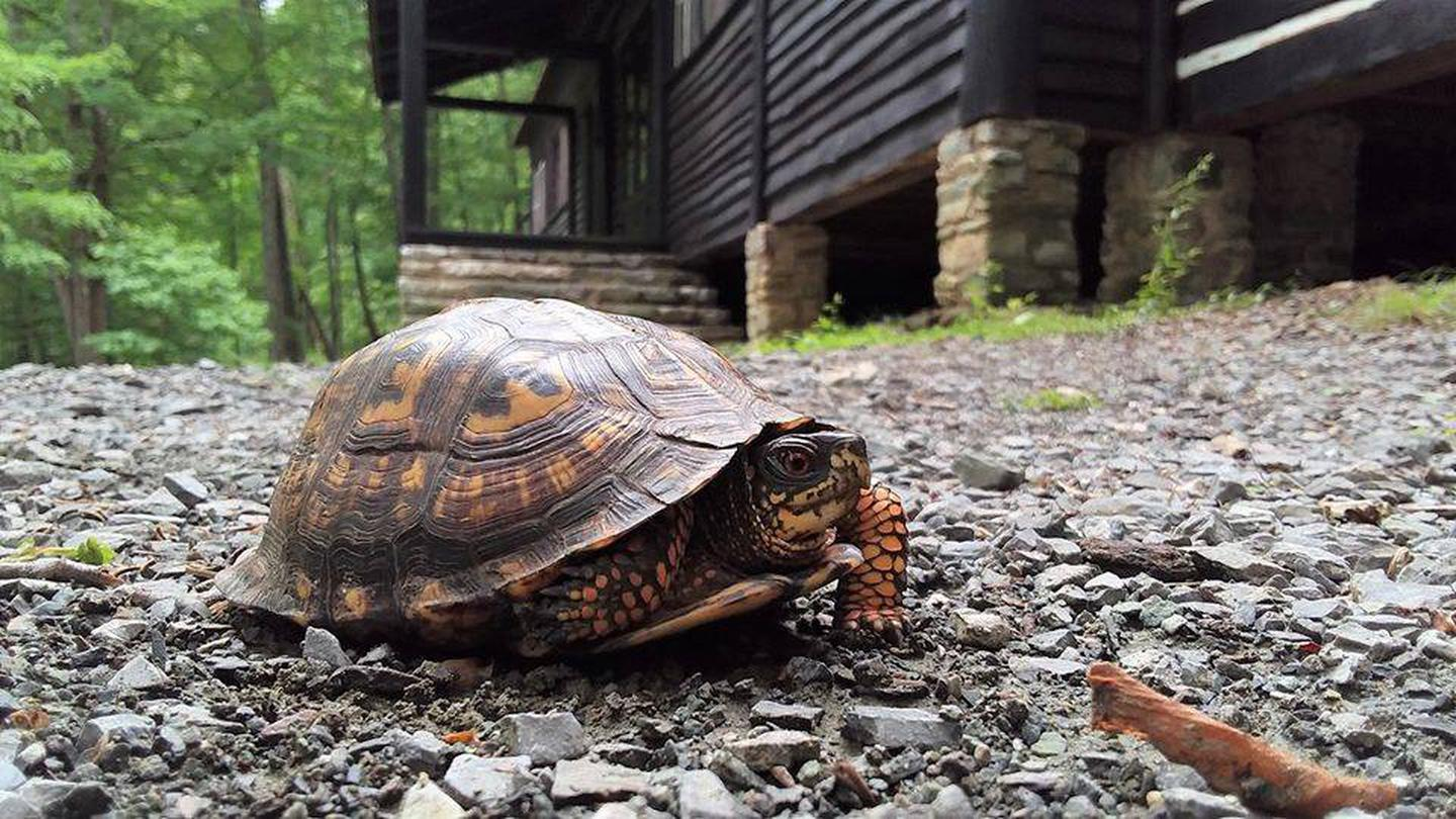 Close, ground level view of an Eastern box turtle.  American chestnut cabin and trees in the background.An Eastern box turtle walks in front of the Camp Misty Mount dining hall.