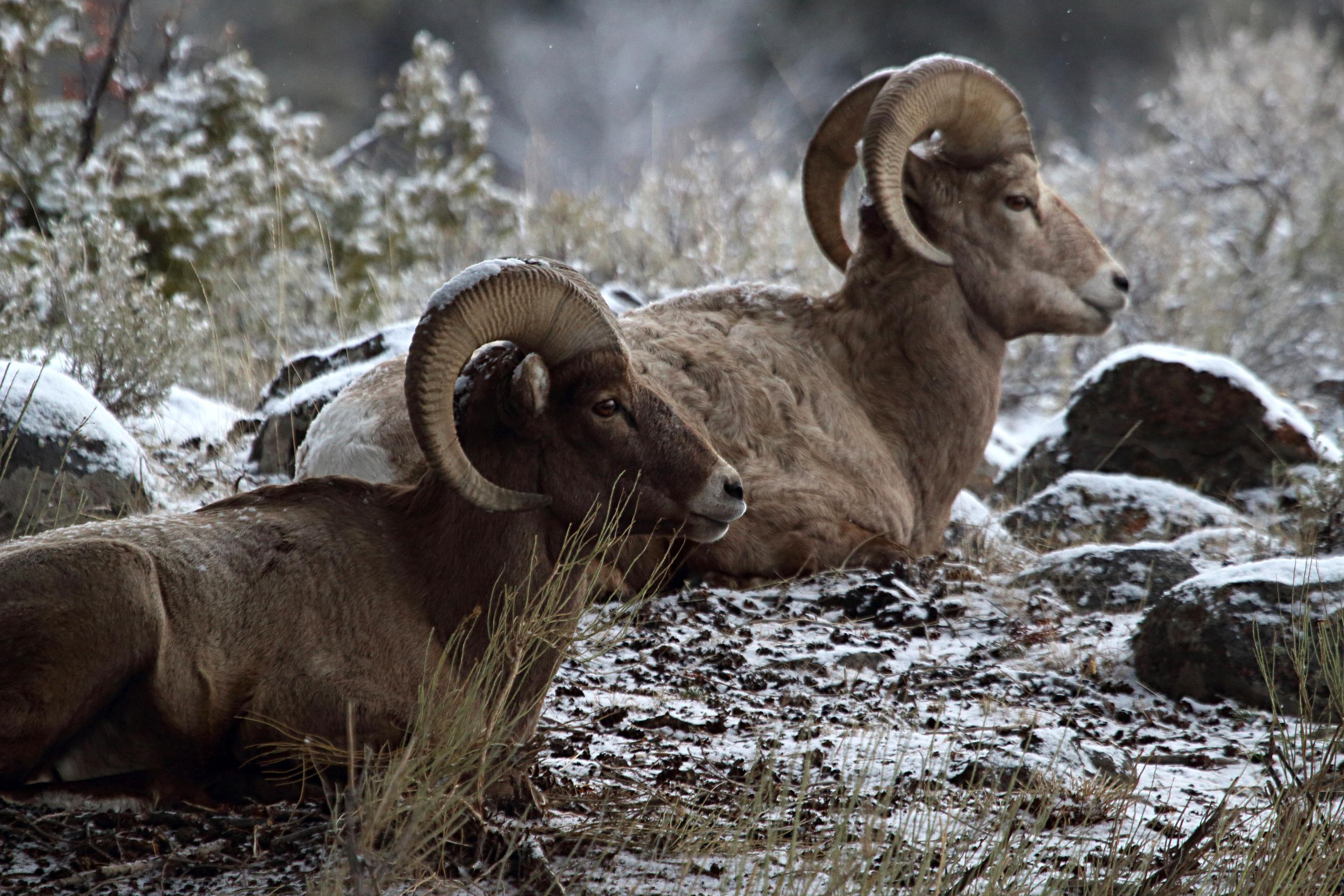 Bighorn sheepTwo bighorn rams rest and chew their cud