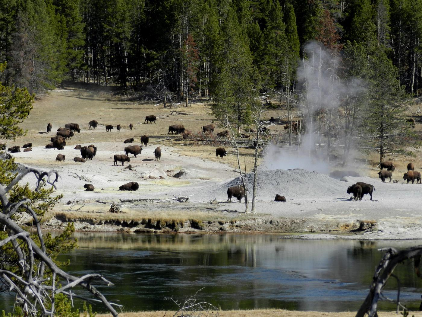 Bison herd in a thermal areaBison near Mud Volcano