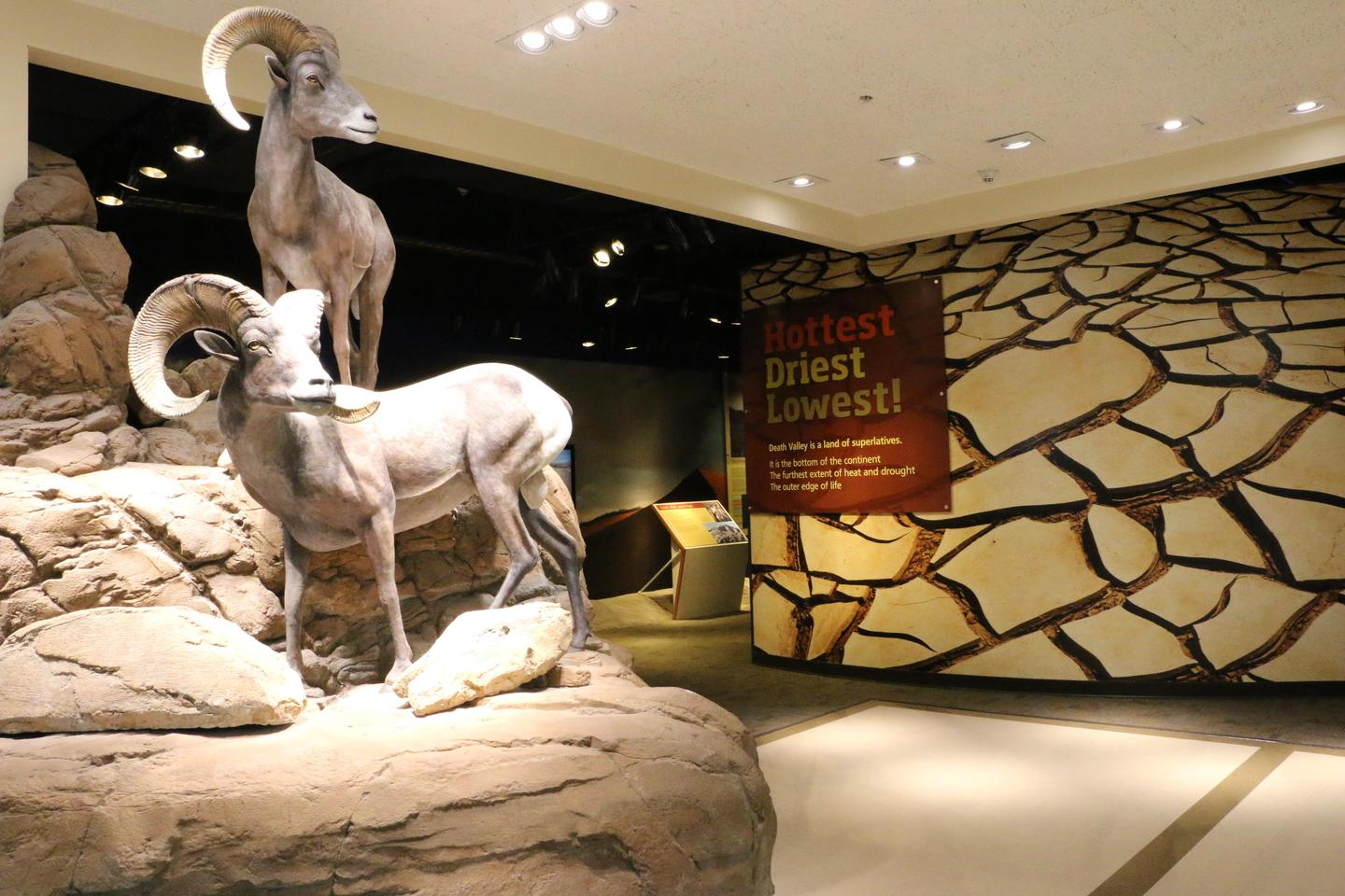 Visitor Center ExhibitsStatues of life-sized desert bighorn sheep meet visitors at the entrance to the exhibit hall.