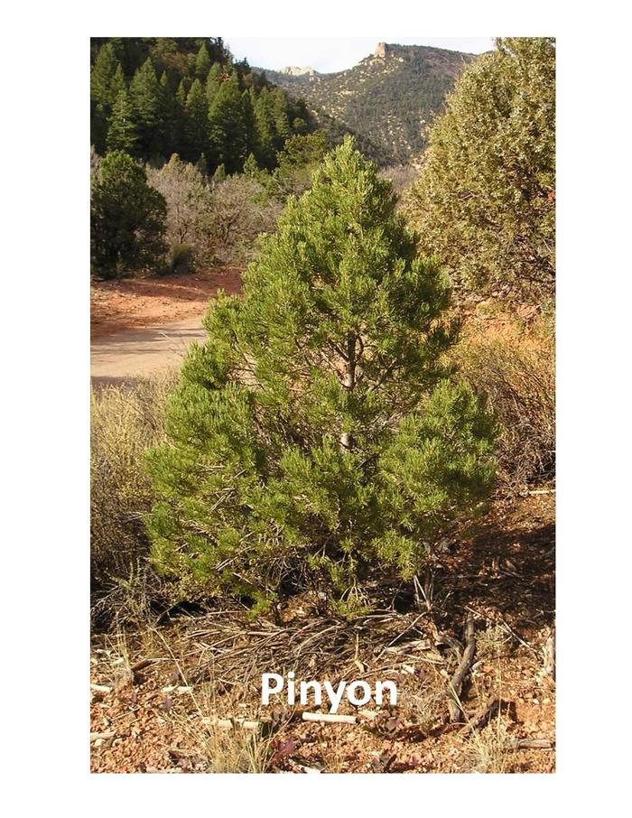 Pinyon treeVery common species for Christmas Trees.  Found on the Tonto NF.