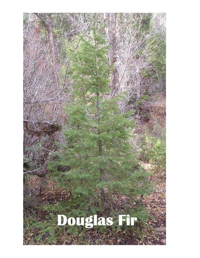 Douglas Fir TreeVery common species for Christmas Trees.  Found on the Tonto NF.