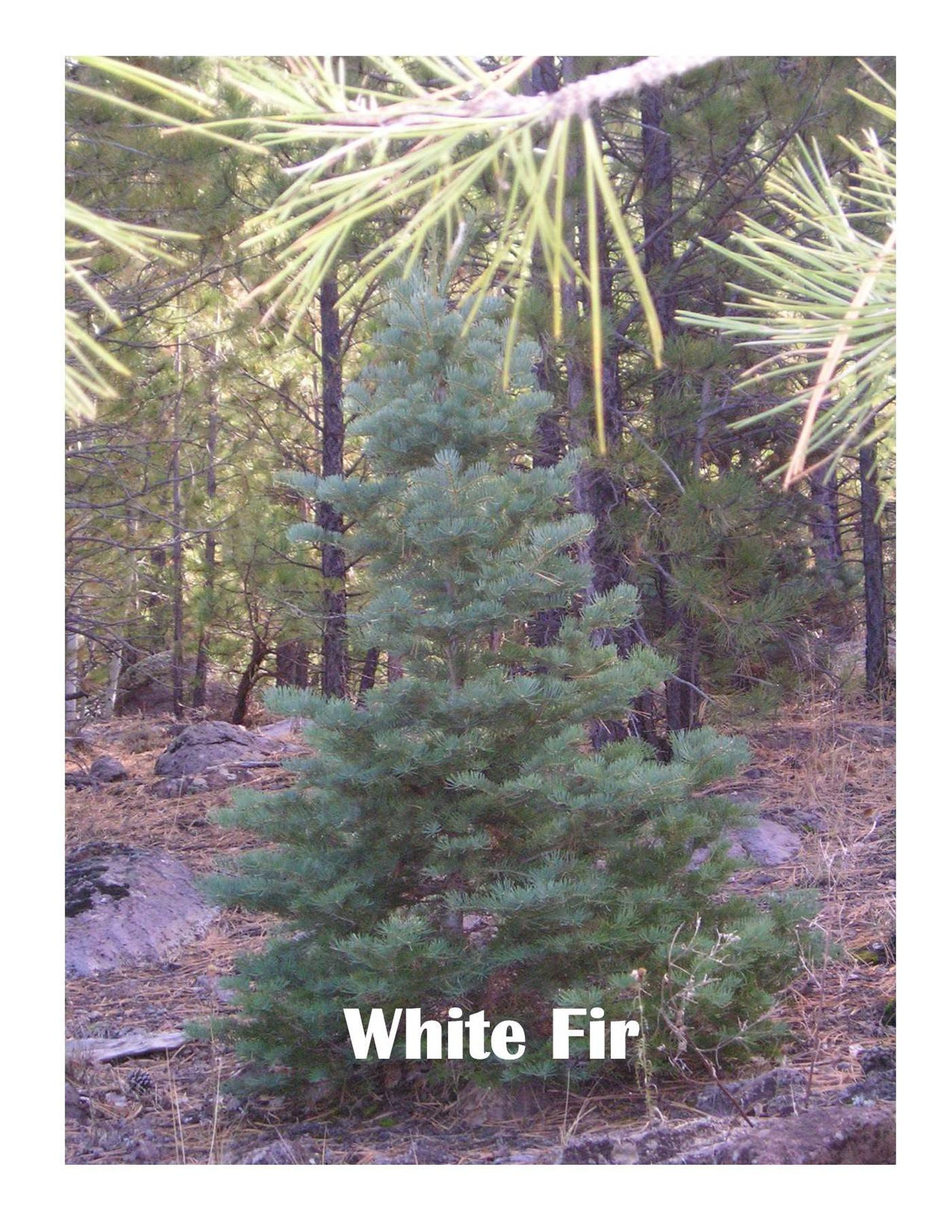 White Fir TreeVery common species for Christmas Trees.  Found on the Tonto NF.