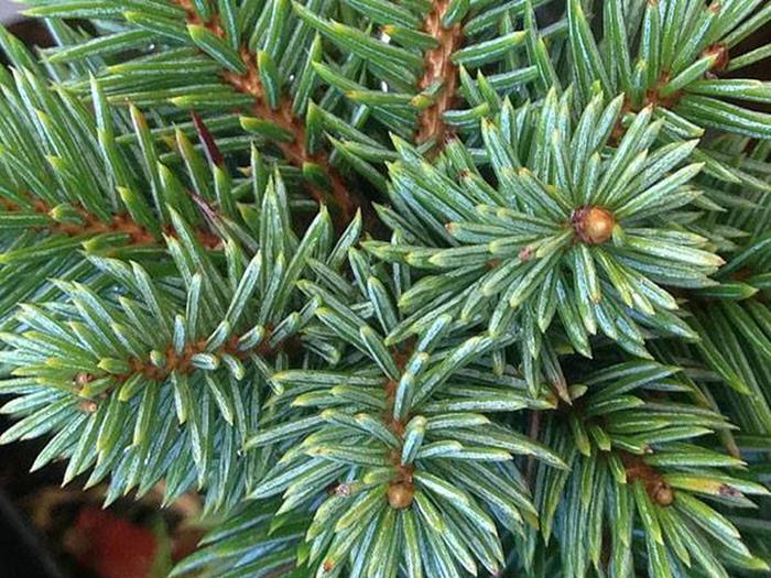 Christmas Tree PermitsEngleman Spruce tree